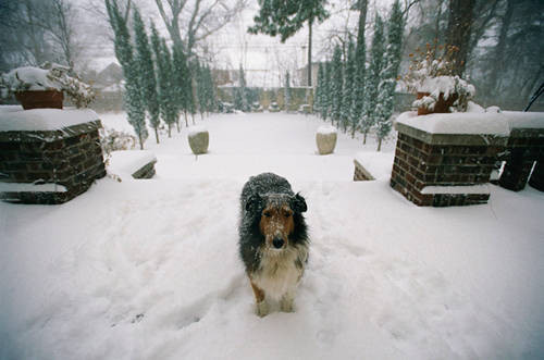 Photo: Prairie the sheltie stands snow-dusted and forlorn outside the back door of a historic home in Lincoln, Nebraska.