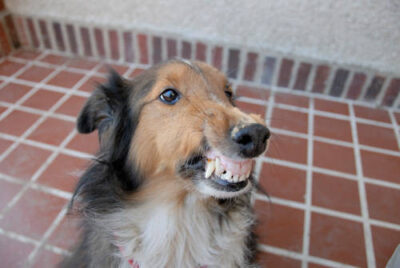 Photo: A sheltie snarls at the camera in a Lincoln, Nebraska neighborhood.