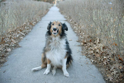 Photo: A sheltie smiles at the camera in a Lincoln, Nebraska neighborhood.