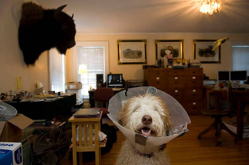 Photo: A family dog, Muldoon, with a plastic collar around his neck after being neutered.