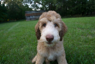 Photo: A goldendoodle puppy sits in freshly mowed grass.