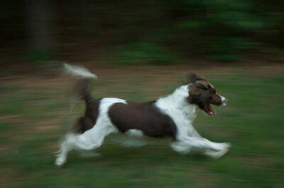 Photo: An English Springer Spaniel runs around the backyard.