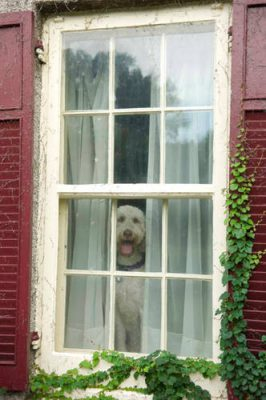 Photo: A dog patiently looks out a window at a home in Lincoln, Nebraska.