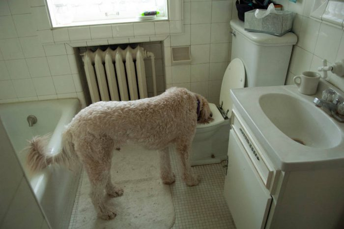Photo: Muldoon the dog drinks out of a toilet.