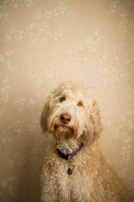 Photo: Muldoon, a fancy doodle, poses for a portrait.