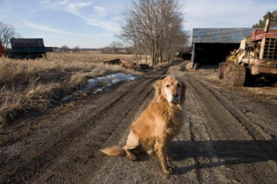Photo: An old golden retriever in rural Nebraska.