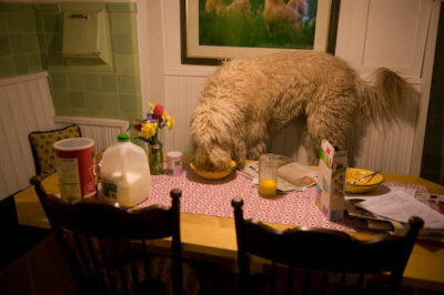Photo: A dog gets caught being disobedient.
