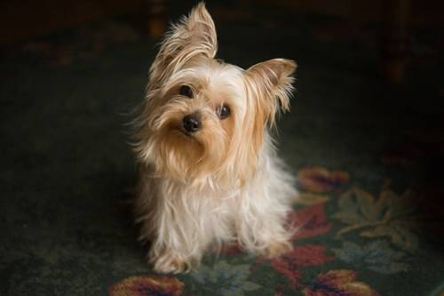 Photo: A Yorkshire terrier sits in a Nebraska home.