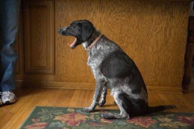Photo: A dog yawns in a Nebraska home.