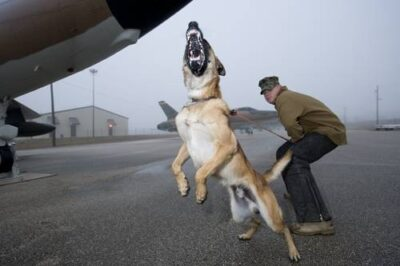 Photo: A handler in the Military Working Dog (MWD) unit of Lackland Air Force Base in San Antonio trains Duke, a Belgian Malinois, in 'bite work' as a patrol dog.
