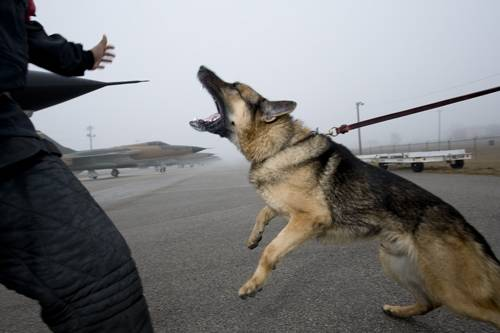 Photo: A decoy man in the Military Working Dog (MWD) unit of Lackland Air Force Base in San Antonio trains Nero, a German shepherd, in 'bite work' as a patrol dog.