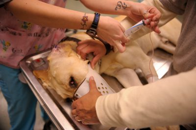 Photo: A dog receives an injection at the world-class veterinary clinic for the Military Working Dog (MWD) unit of Lackland Air Force Base in San Antonio.