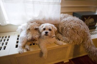 Photo: Muldoon (larger) and Baxter (a Shih-Tzu), the Sartore family dogs.