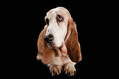 Photo: A Basset hound named Hurley.