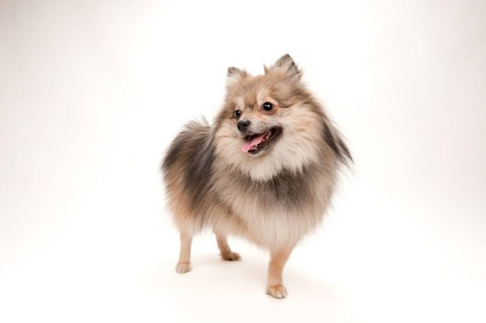 Photo: Lola the Pomeranian, with an unusual merle and tan coloration.
