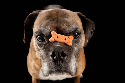 Photo: Toto, a boxer.
