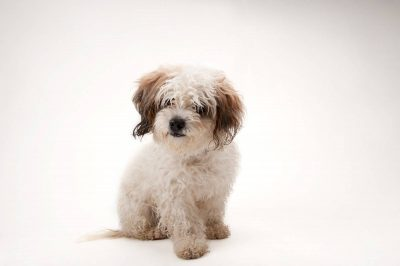 Photo: Sally Jo, a Bichon mix at Capital Humane Society in Lincoln.