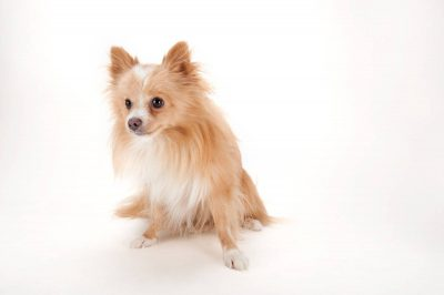 Photo: A Pomeranian at the Capital Humane Society in Lincoln.