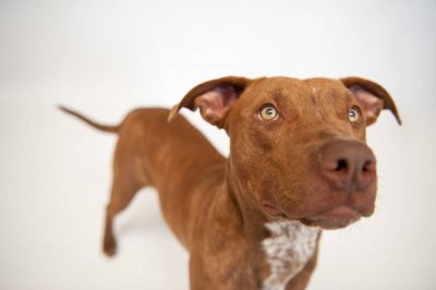 Photo: Maria, a pit bull terrier, at the Capital Humane Society in Lincoln.
