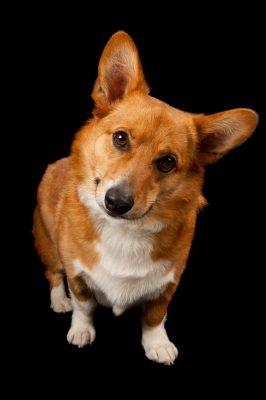 Photo: Rusty the corgi was adopted from the Capital Humane Society just after this photo was taken.