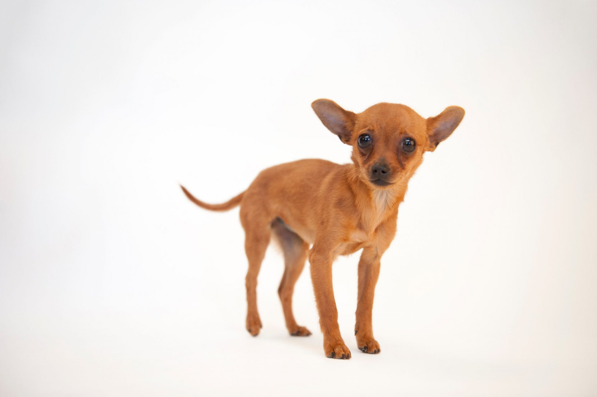 Photo: Cinny, a three month-old Chihuahua at the Capital Humane Society in Lincoln.
