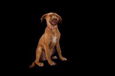 Photo: Honey, a two-month-old pit bull mix at the Capital Humane Society in Lincoln.