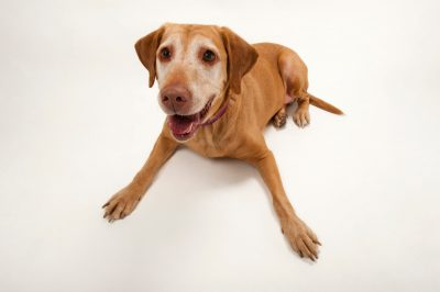 Photo: A lab mix named Tinkerbell at the Capital Humae Society in Lincoln.