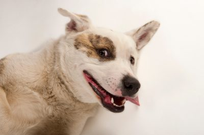Photo: Brewster, an akita/pitbull mix, at the Capital Humane Society in Lincoln.