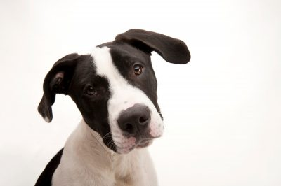 Photo: Mickey, a pit bull mix, at the Capital Humane Society in Lincoln.