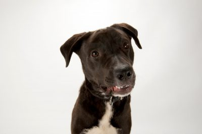 Photo: Brody, a lab mix, at the Capital Humane Society in Lincoln.