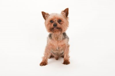 Photo: Chico, a Yorkshire terrier, at the Capital Humane Society in Lincoln.