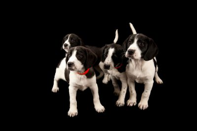 Photo: Ten week-old Springer spaniel mix puppies at the Capital Humane Society in Lincoln.