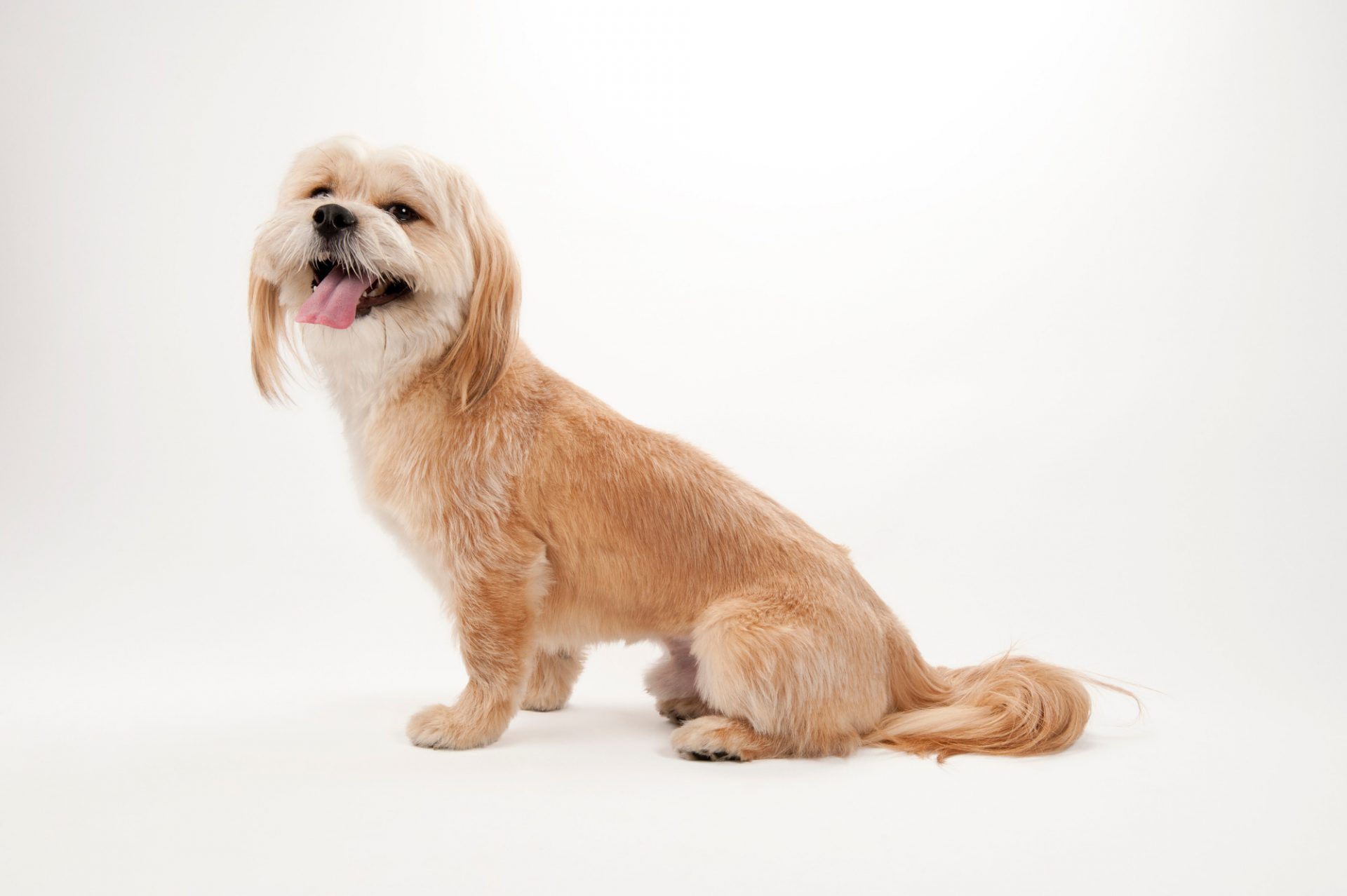 Photo: A llasa apso mix at the Capital Humane Society in Lincoln.