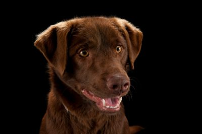Photo: Bear, a chocolate lab, at the Capital Humane Society in Lincoln.