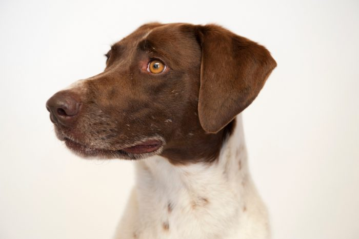 Photo: A pointer/spaniel mix at the Capital Humane Society in Lincoln.