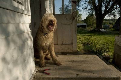 Photo: A fancy doodle dog sits out on a porch.