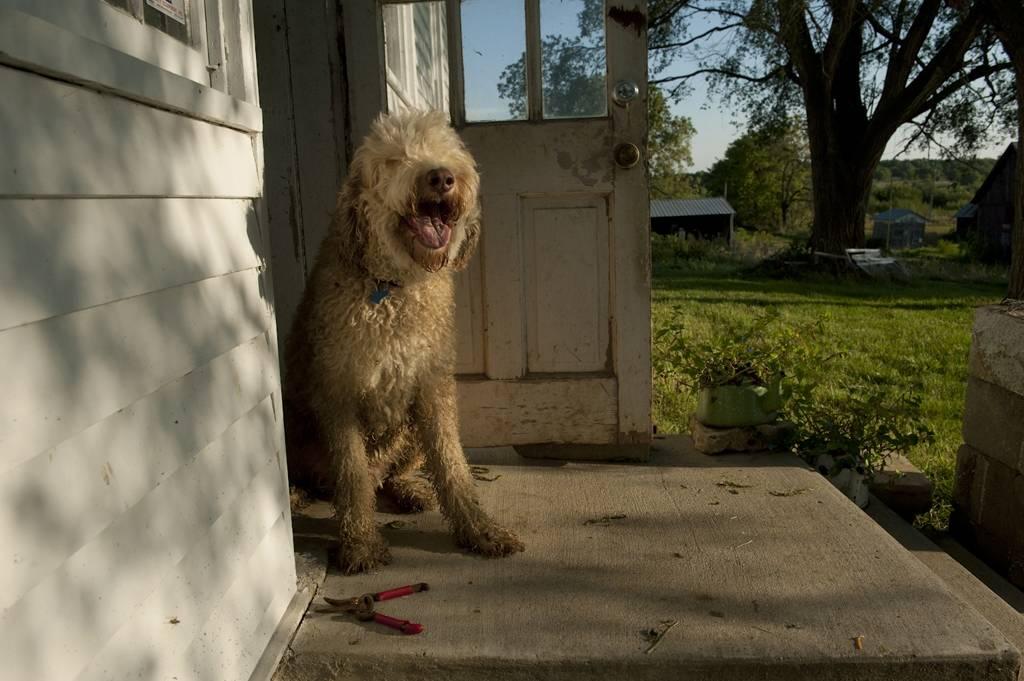 Photo: A fancy doodle dog sits out on a porch.