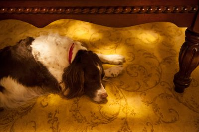 Photo: An English springer spaniel, asleep on the floor in Lincoln, Nebraska.