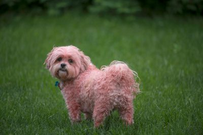 Photo: Baxter the Shih tzu, dyed pink.