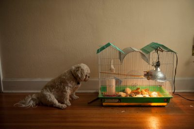 Photo: A shih tzu dog watches baby chickens.