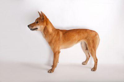 A dingo or warrigal (Canis lupus dingo).