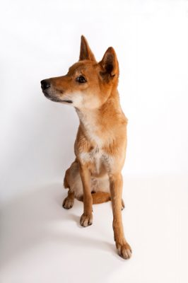 Photo: A dingo or warrigal (Canis lupus dingo.)