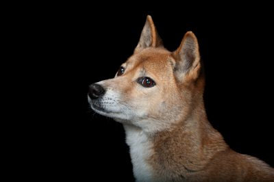 A New Guinea singing dog (Canis lupus hallstromi) at the Miller Park Zoo.