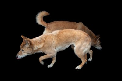 A pair of New Guinea singing dogs (Canis lupus hallstromi) at the Miller Park Zoo.