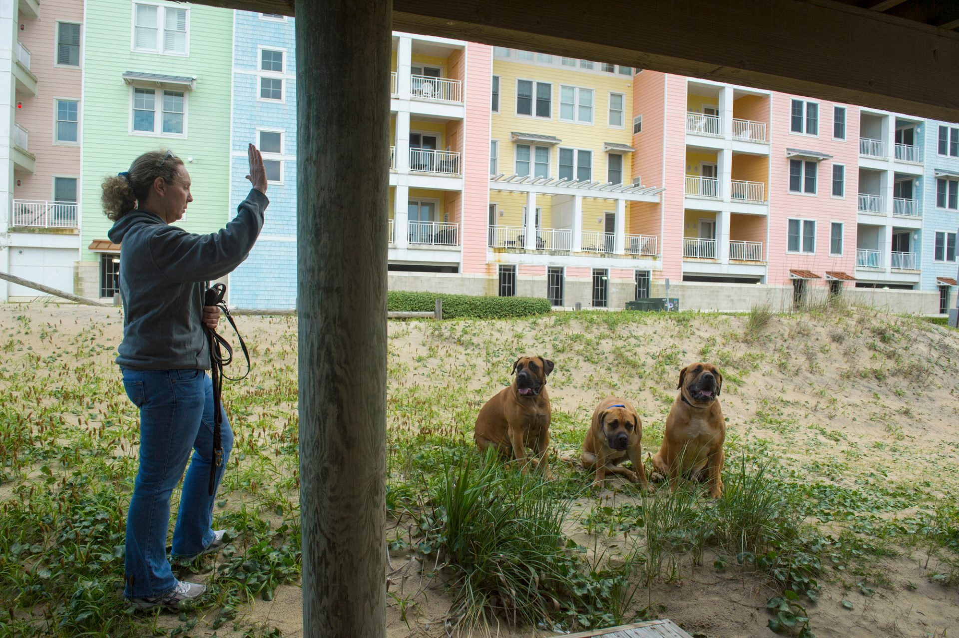 Photo: A woman with her three South African mastiffs at Virginia Beach, Virginia.