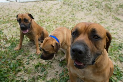Photo: Three South African mastiffs at Virginia Beach, Virginia.