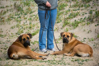 Photo: Two South African mastiffs and their owner at Virginia Beach, Virginia.
