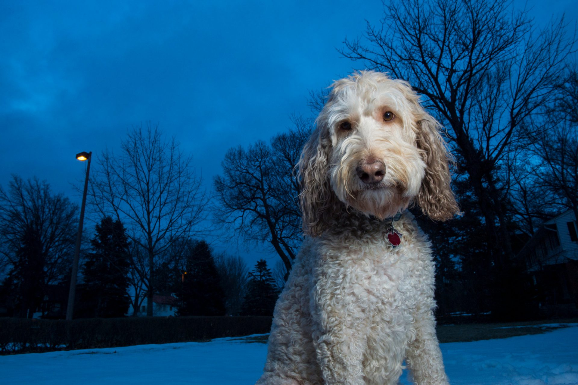 Photo: A dog poses for his portrait on a snow covered lawn at dusk.