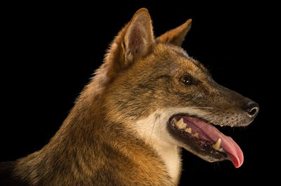 Photo: A Golden jackal (Canis aureus) at the Assam State Zoo.