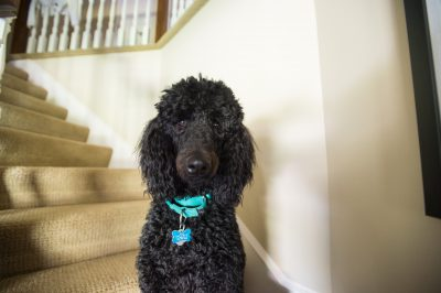 Photo: Nigel, a black poodle.